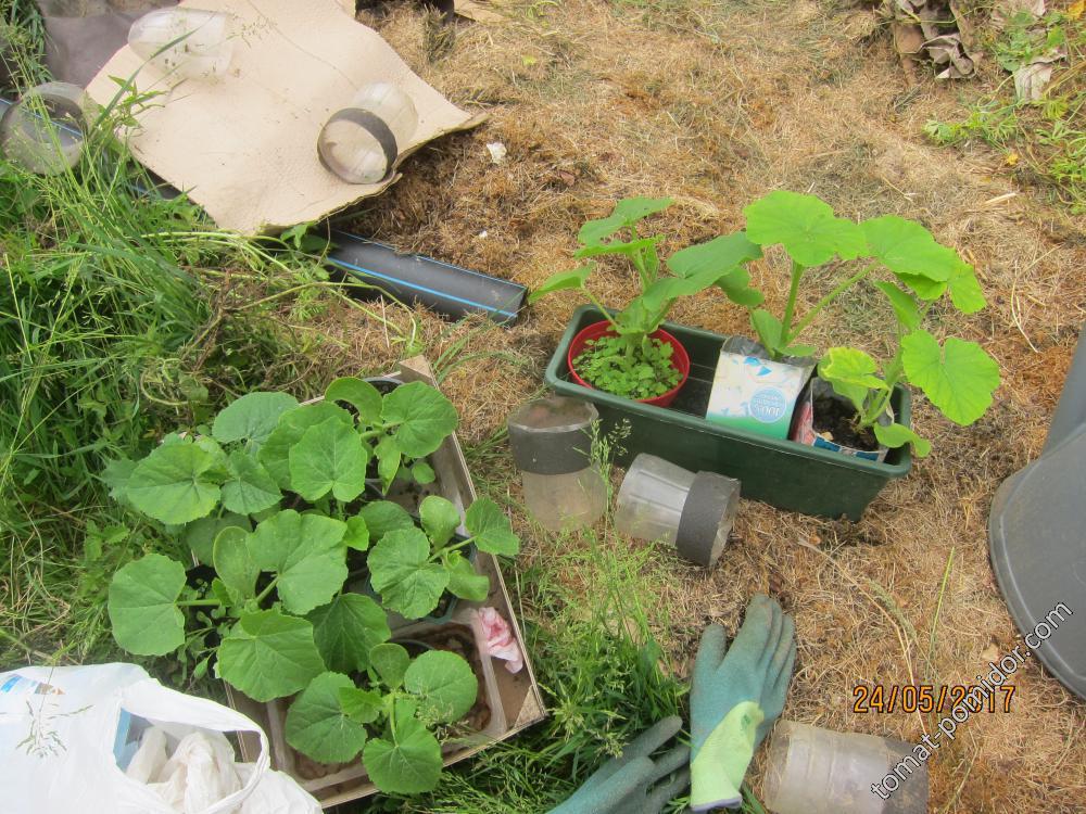 Высаживаем тыквы