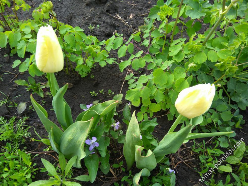 Тюльпаны поздние бахромчатые желтые бледные