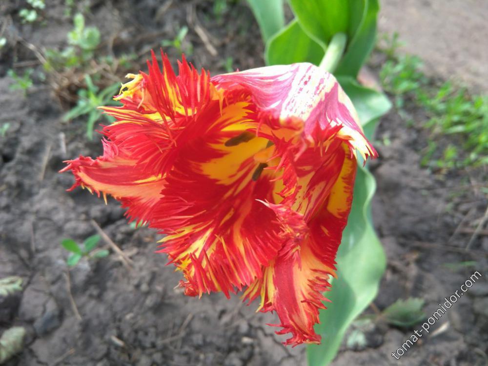 Красный с желтым бахромчатый тюльпан