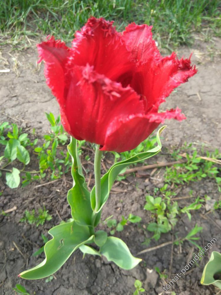 Тюльпан красно-малиновый бахромчатый