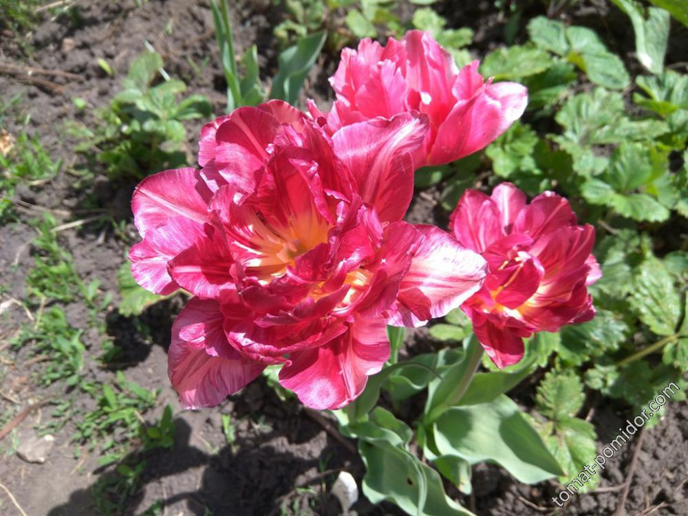 Махровые розово-лиловые