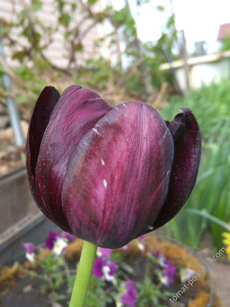 Почти черный тюльпан