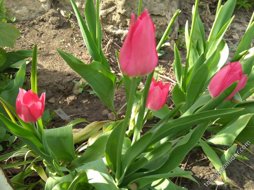 Розовые поздние тюльпаны