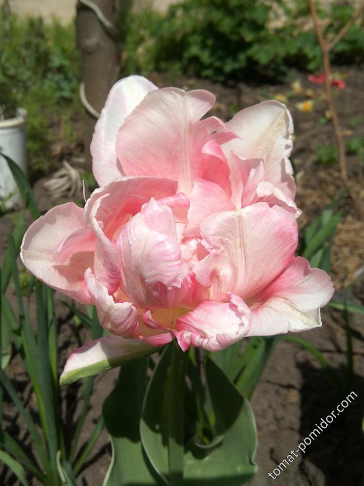 Светло-розовый махровый мохнатый