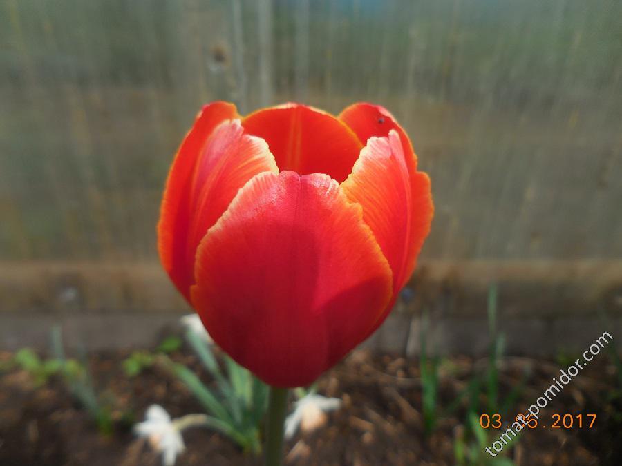 Тюльпан бокаловидный
