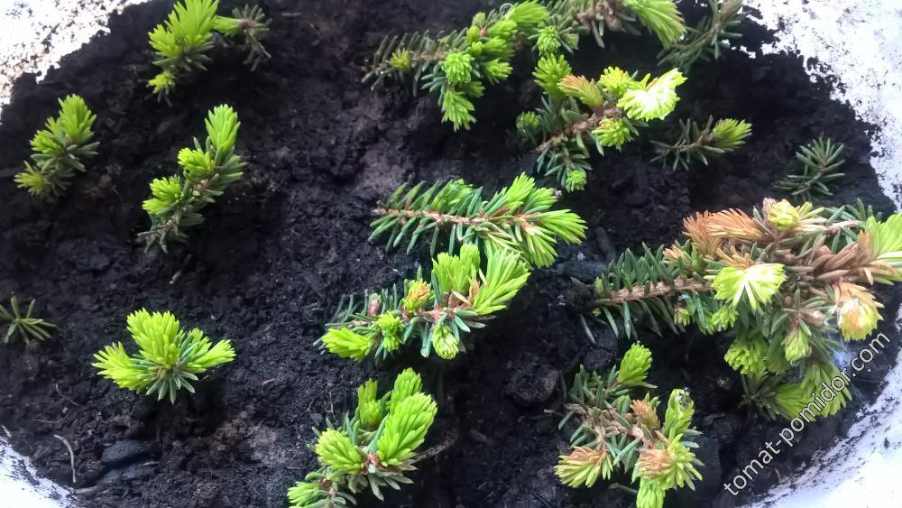 Укоренение елки от Несси