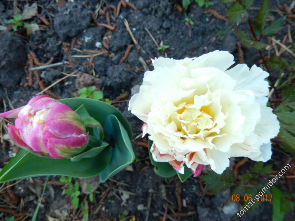 тюльпаны Эскимо