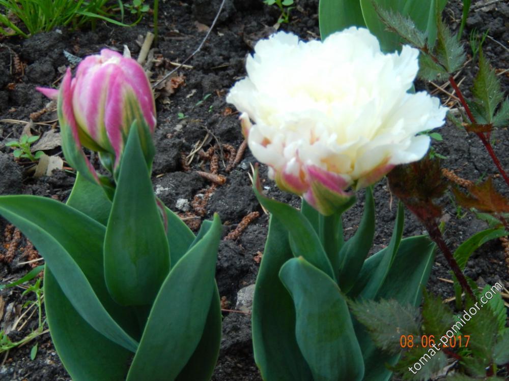 Тюльпаны Эскимо - сама нежность.