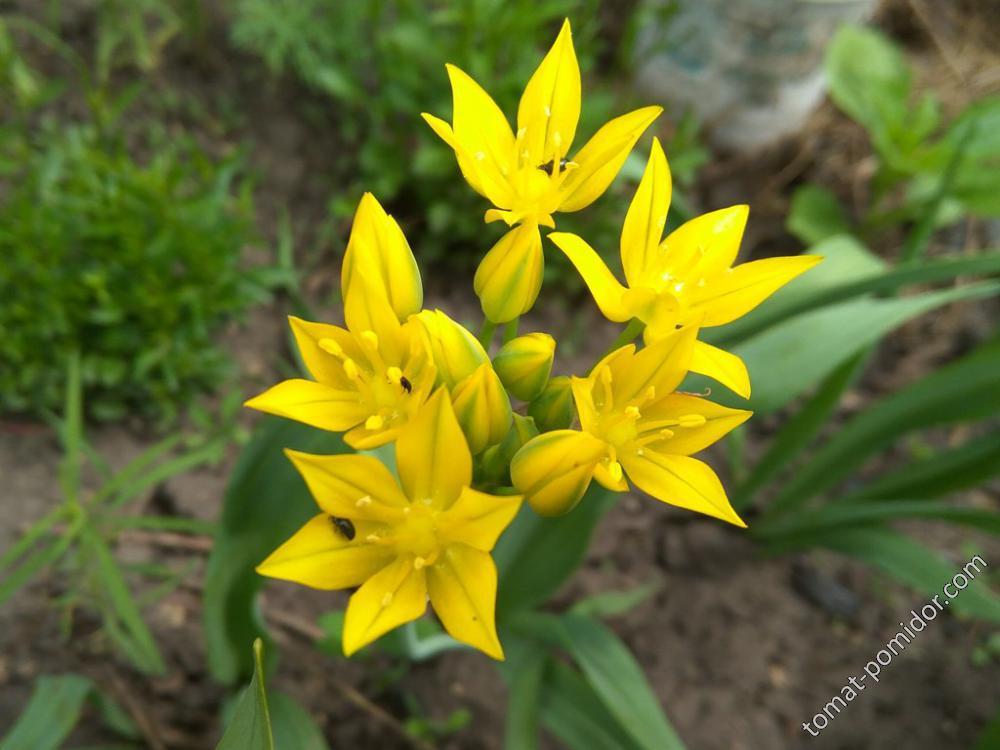 Цветет лук моли