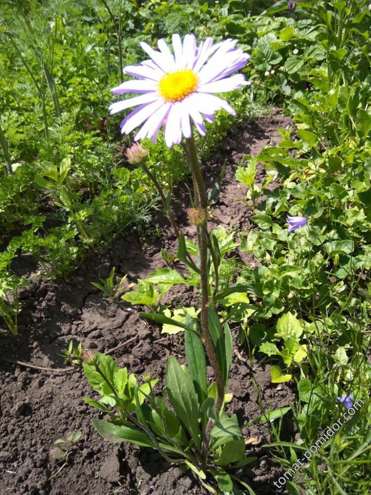 голубая ромашка-весь цветочек