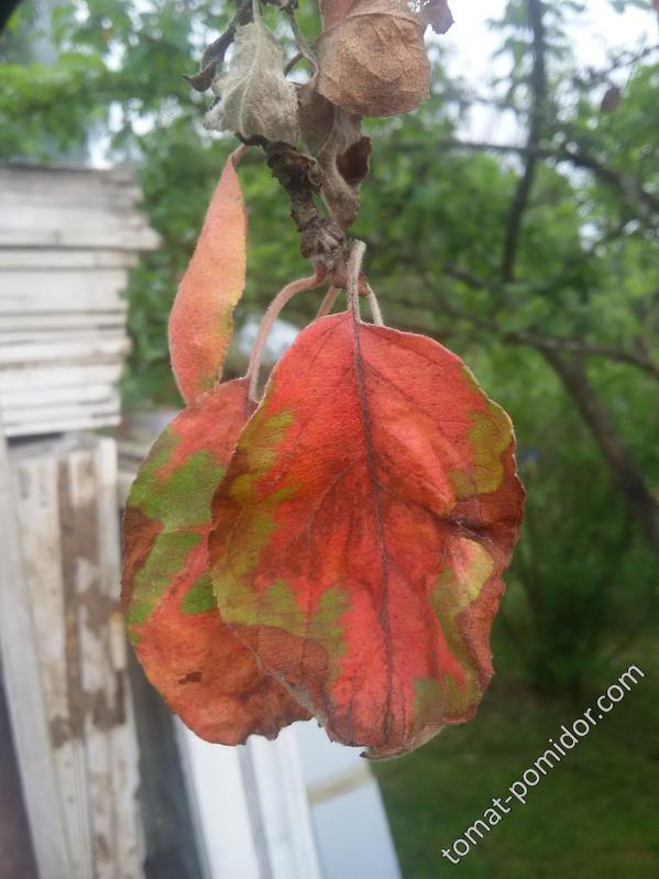 лист яблони