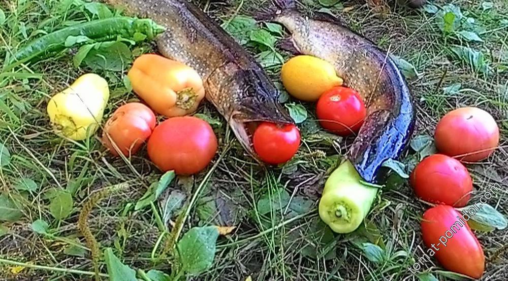 томаторыбалка