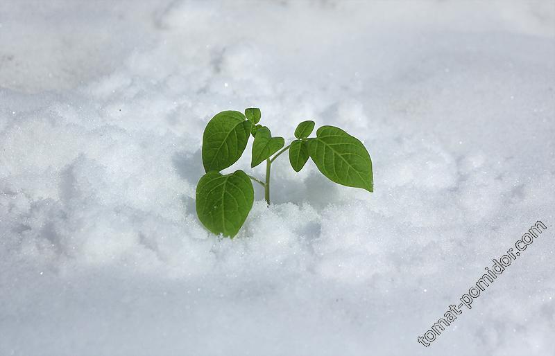 Поцелуй герани в снегу (постановочное фото)