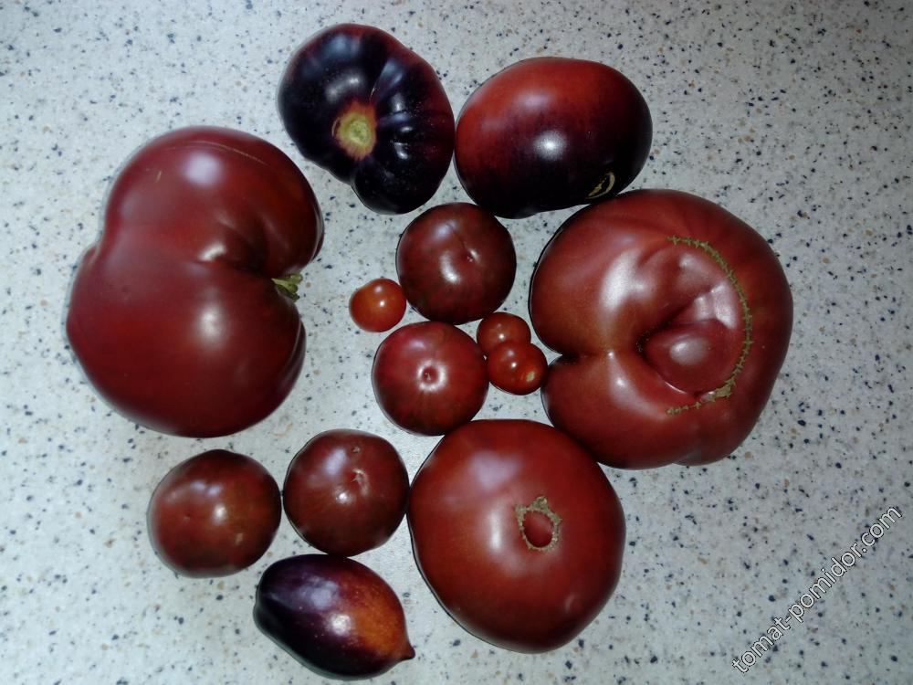 Черноплодные