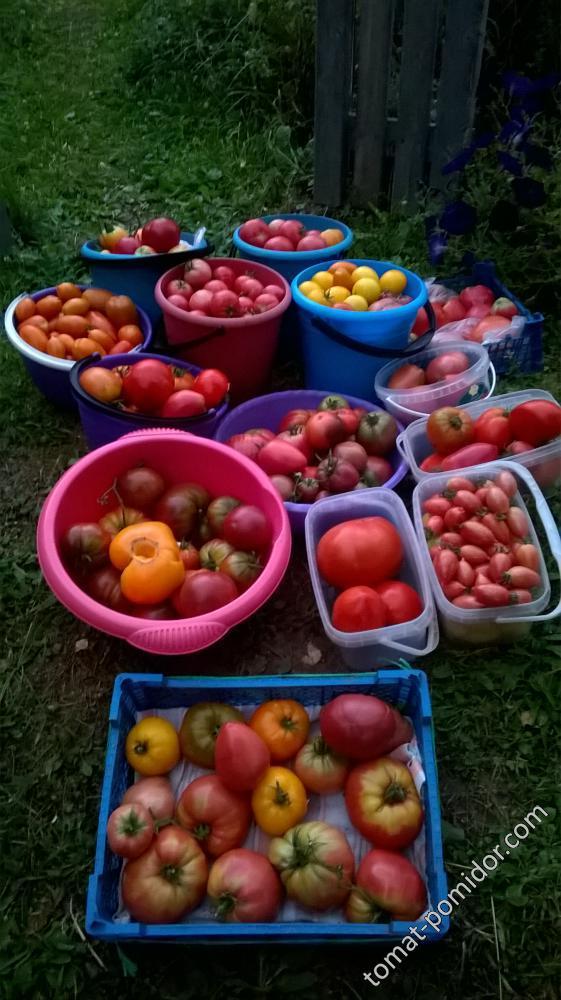 сбор томатиков