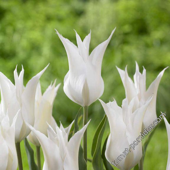 Лилиецветный тюльпан Sapporo