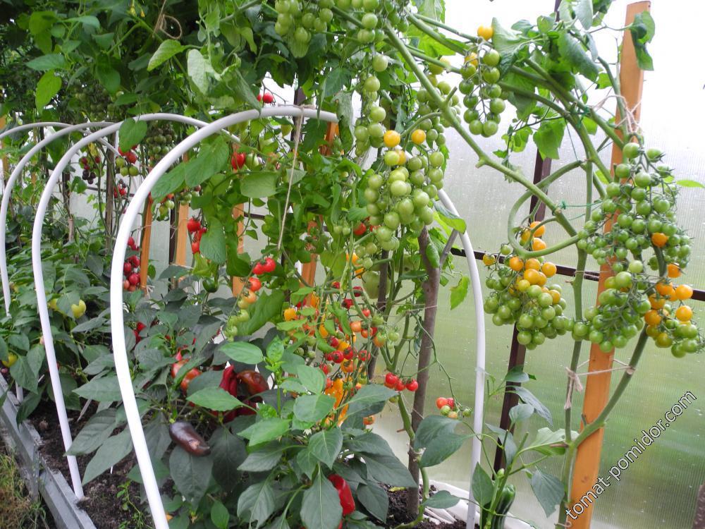 Вторая теплица с перцами, томатами черри и огурцами.