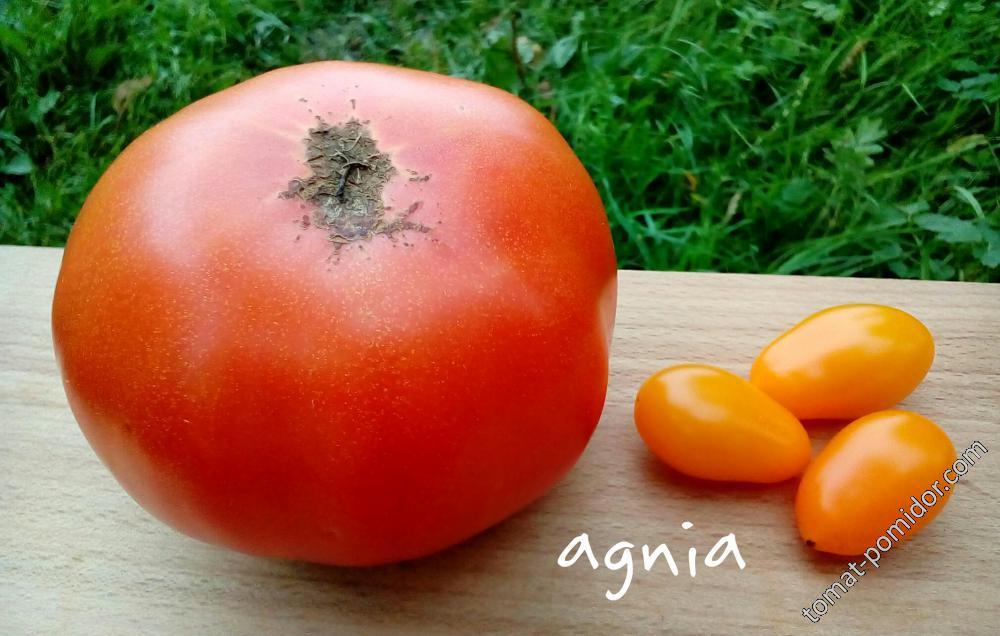 Король Гигантов и Pera Naranja (грушка оранжевая)