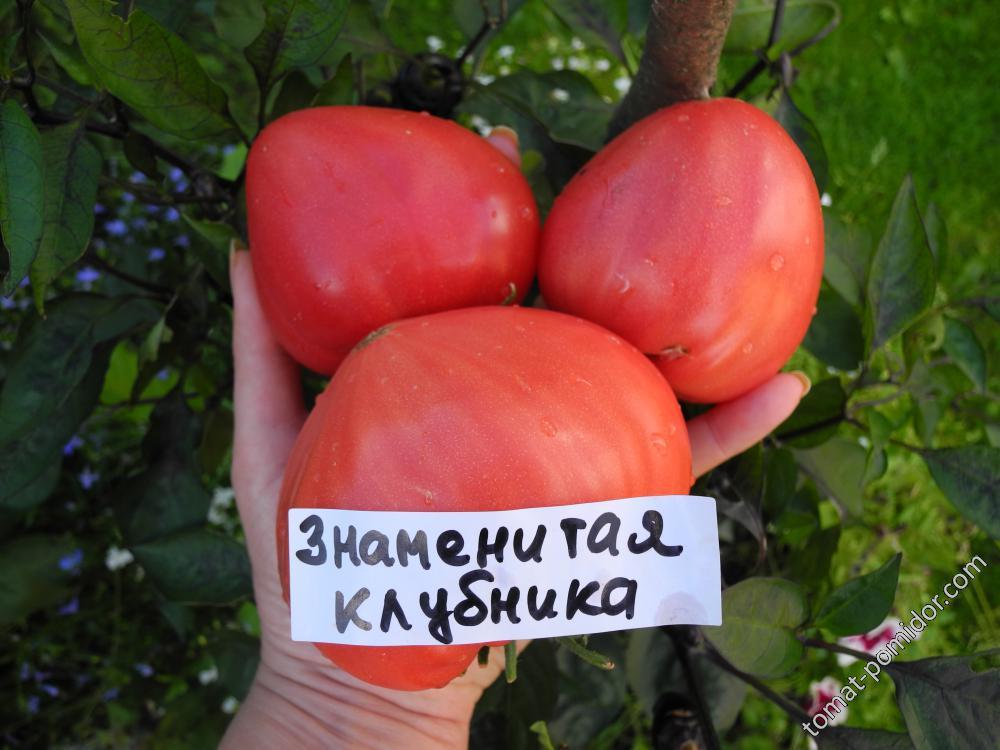 Знаменитая клубника миссис Шлаубах (Mrs. Schlaubaugh's Famous Strawberry)