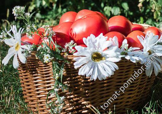 Олесины помидоры
