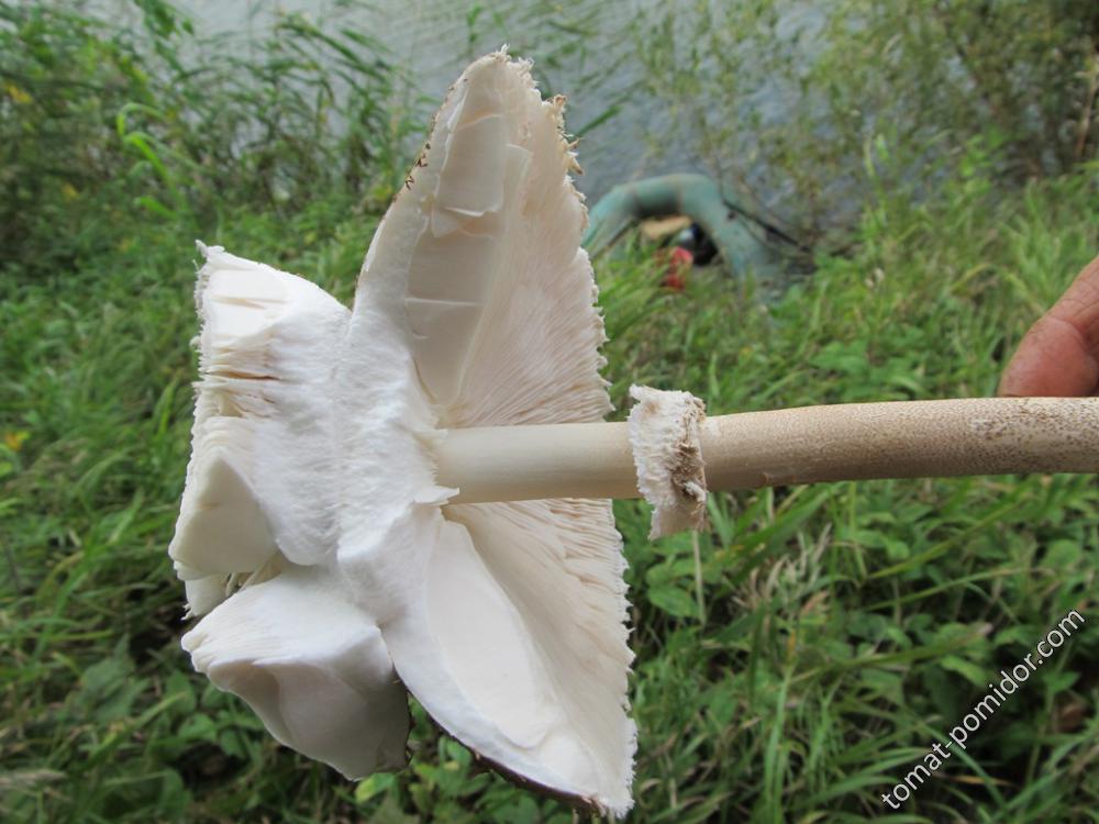 Мякоть зонтика