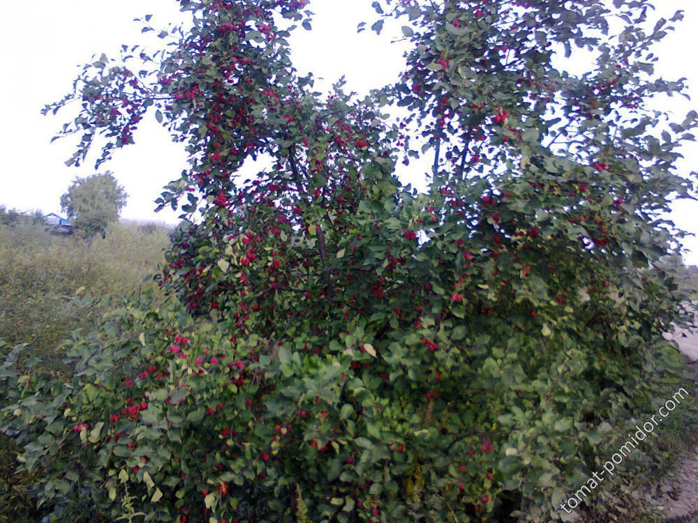 дикая яблоня у дороги
