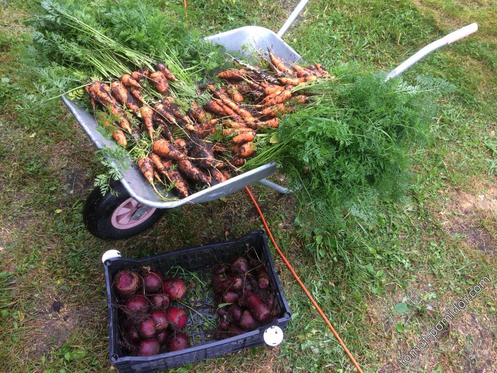 урожай морковки и свеклы