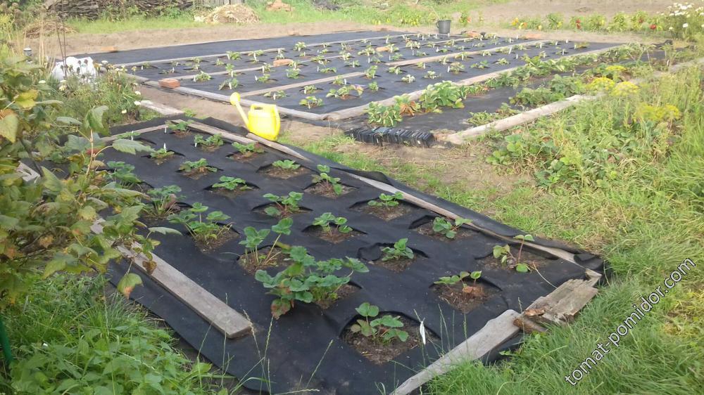 Посадила клубнику