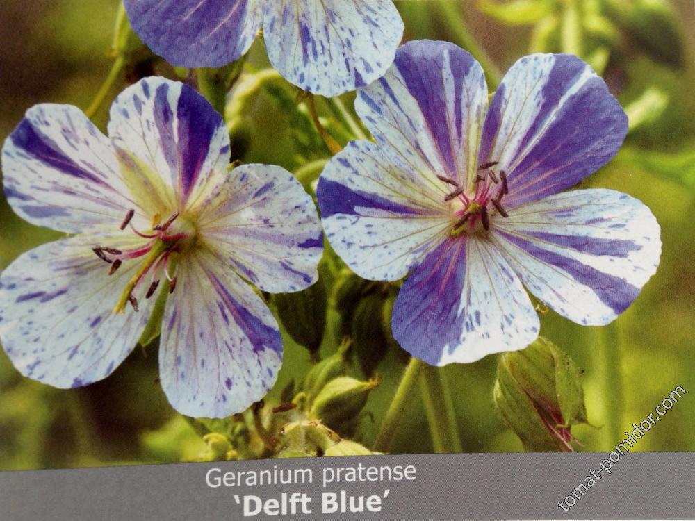 Герань Delft Blue