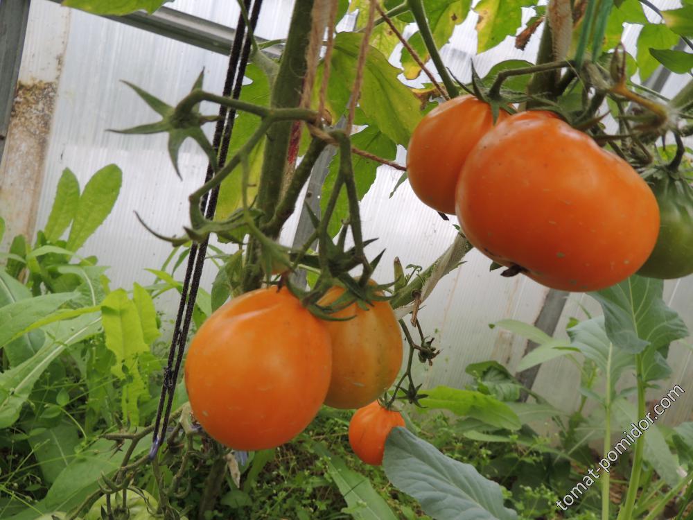 Японский трюфель оранжевый