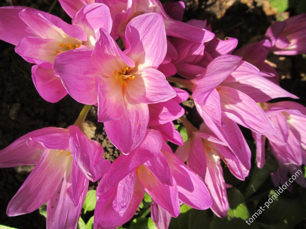 Безвеменники все цветут