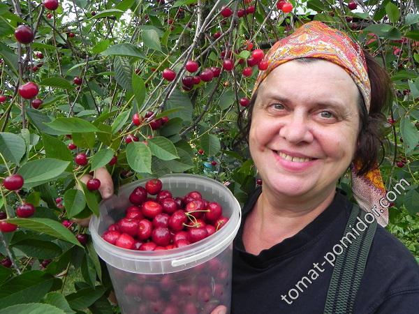 Урожай черешни 2016