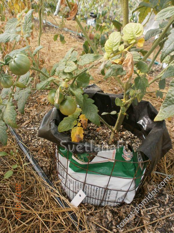 томат в цилиндре