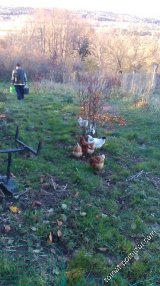 Дед за яблоками, а вся живность за дедом))