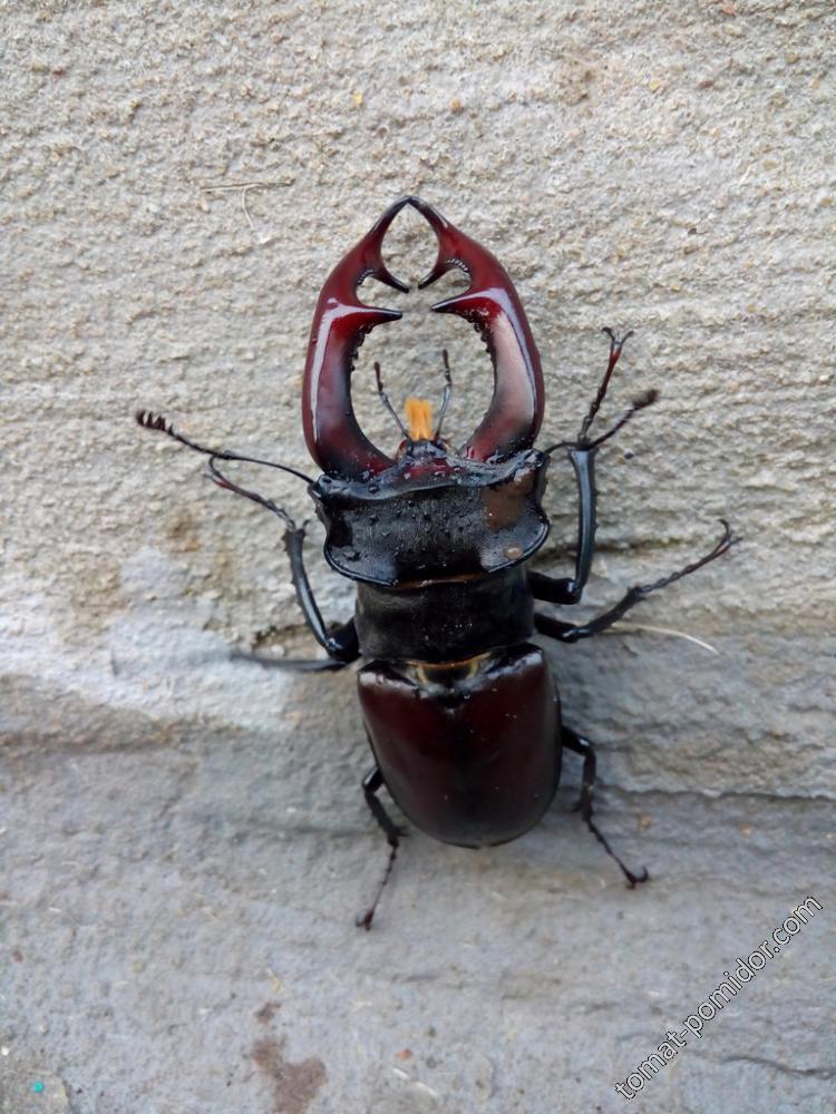 А это сам жук-олень