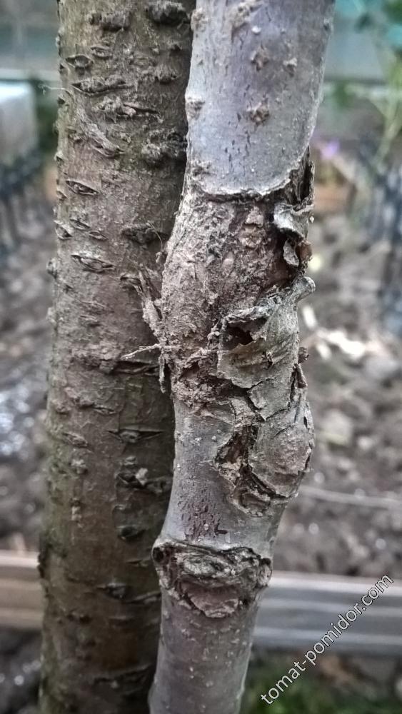 груша болеет