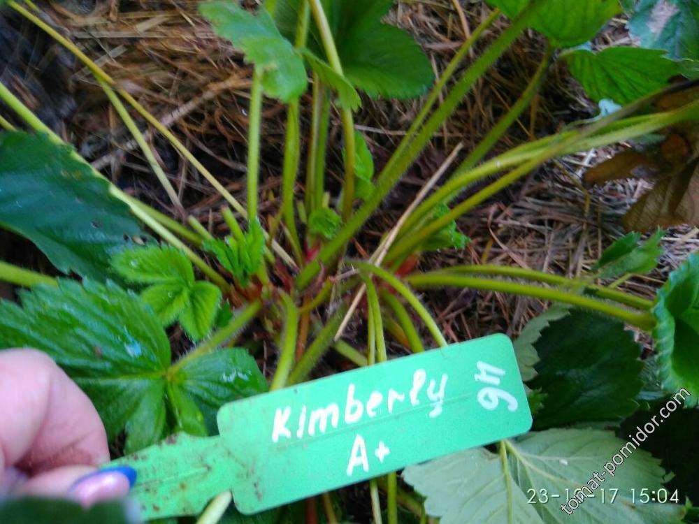 Кимберли А+(средний размер саженца)