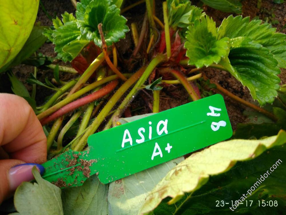 Азия , в классе А+ Средние саженци