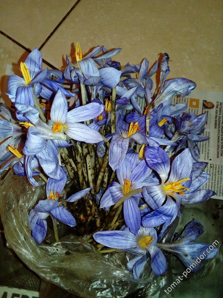 Крокусы осенние голубые