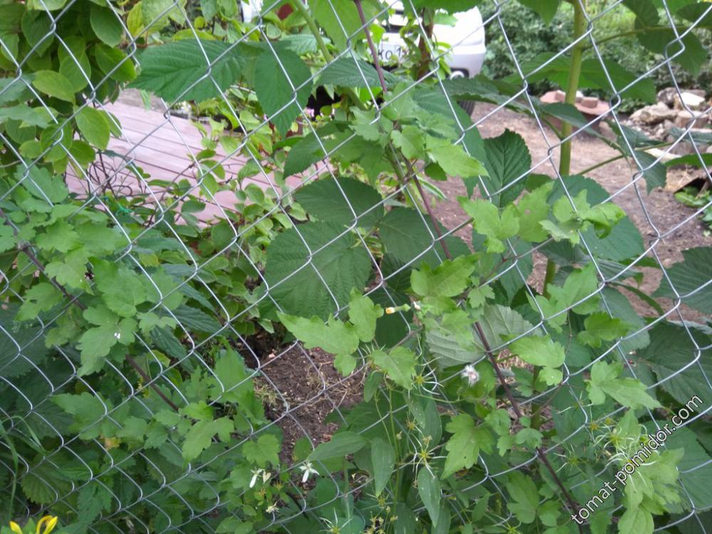 Клематисы манчжурский и виноградолистный