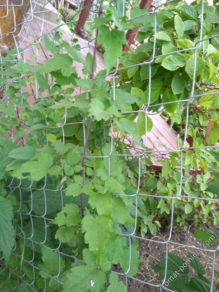 Клематис виноградолистный