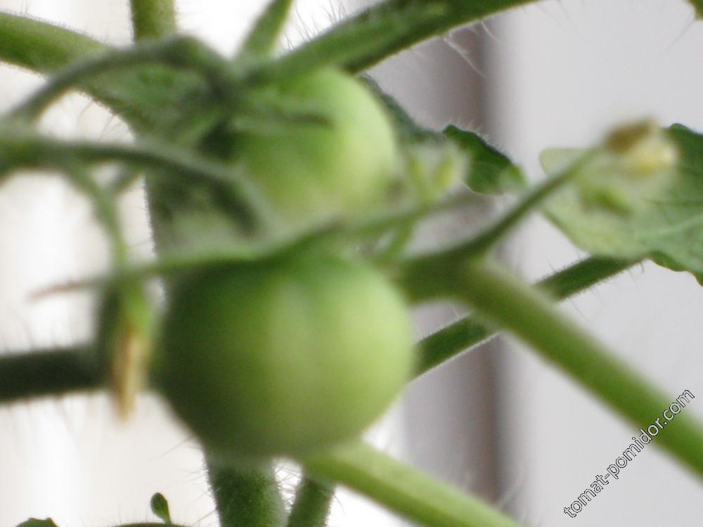 томат на окне.