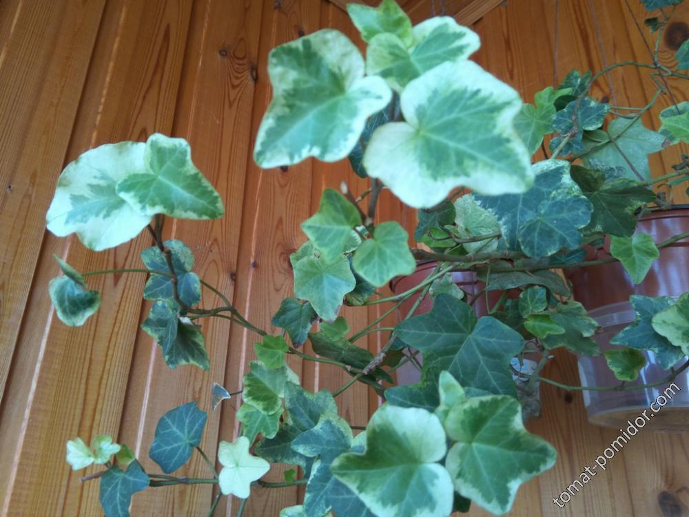 Плющ с мелкими вариегатными листьями