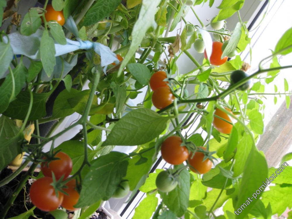 золотце-домашний томат.