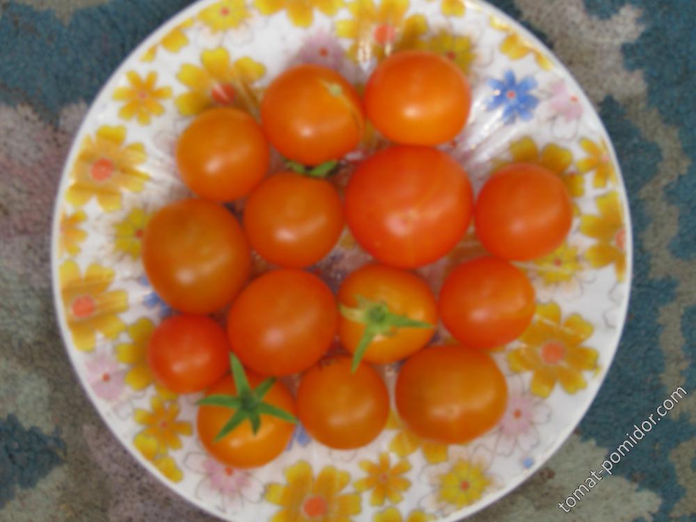 томат золотце.