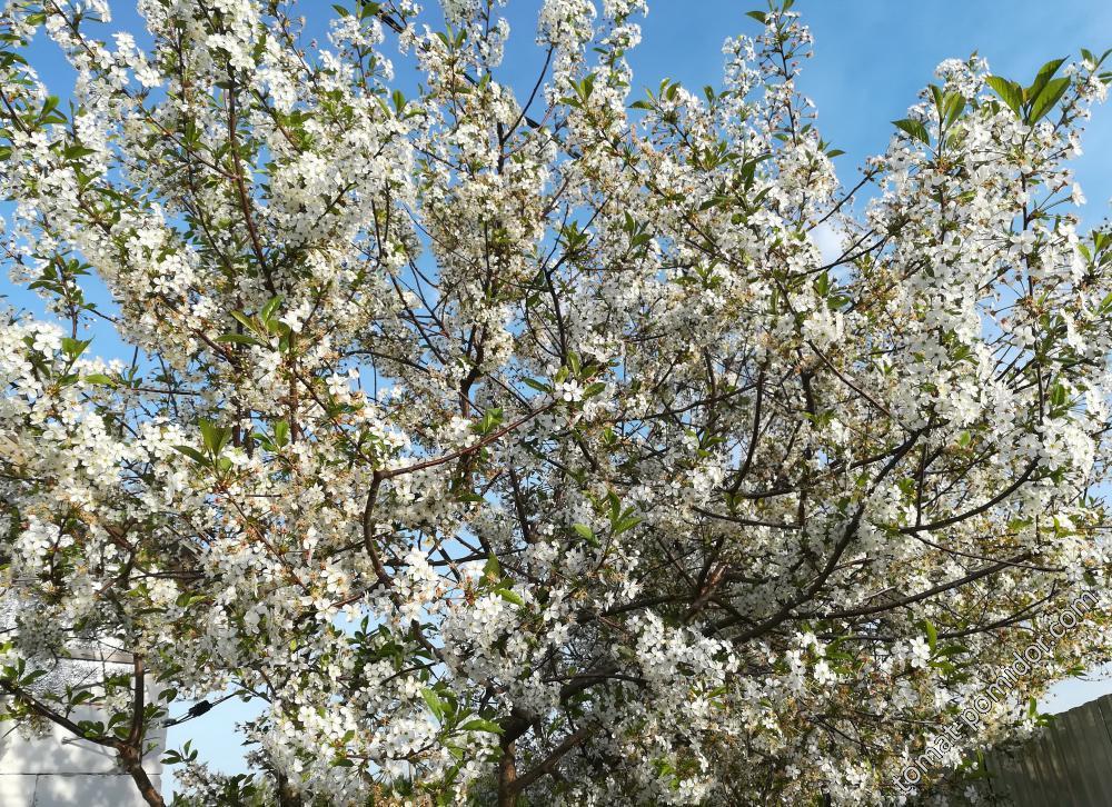 Вишня цветёт 13.05.18г.