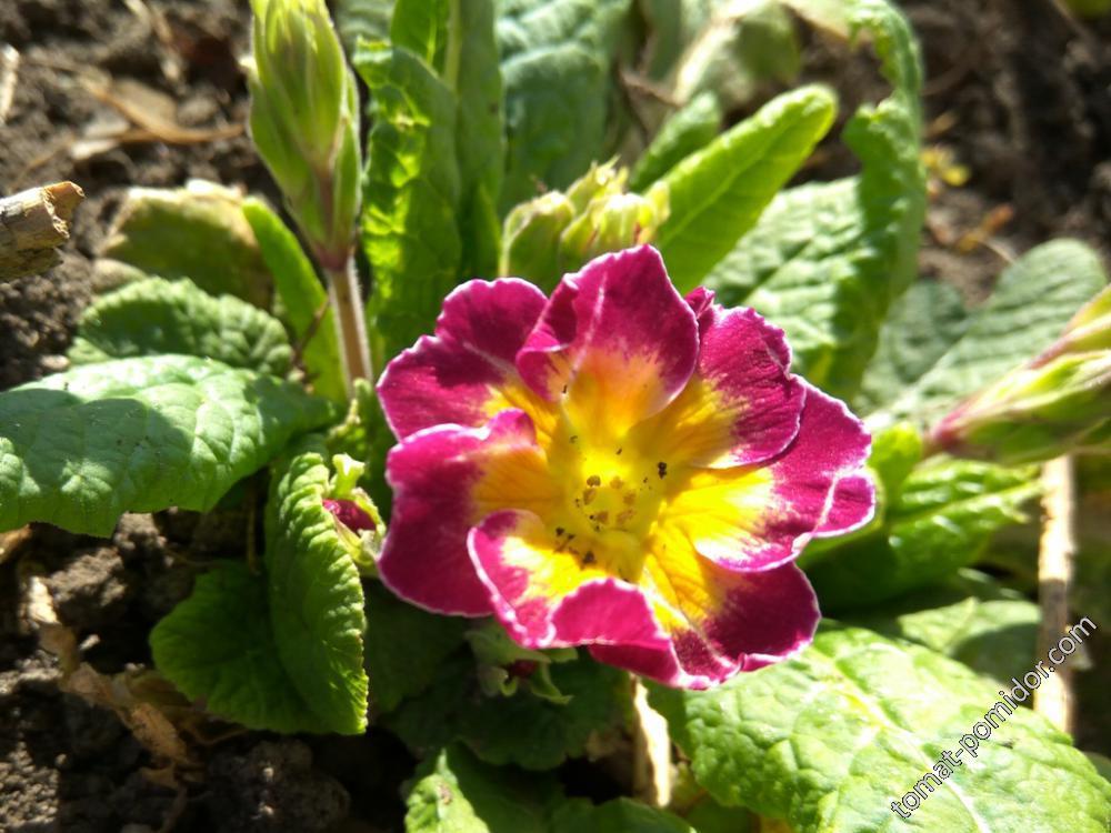 Примула с крупным цветком- тоже прошлогодняя