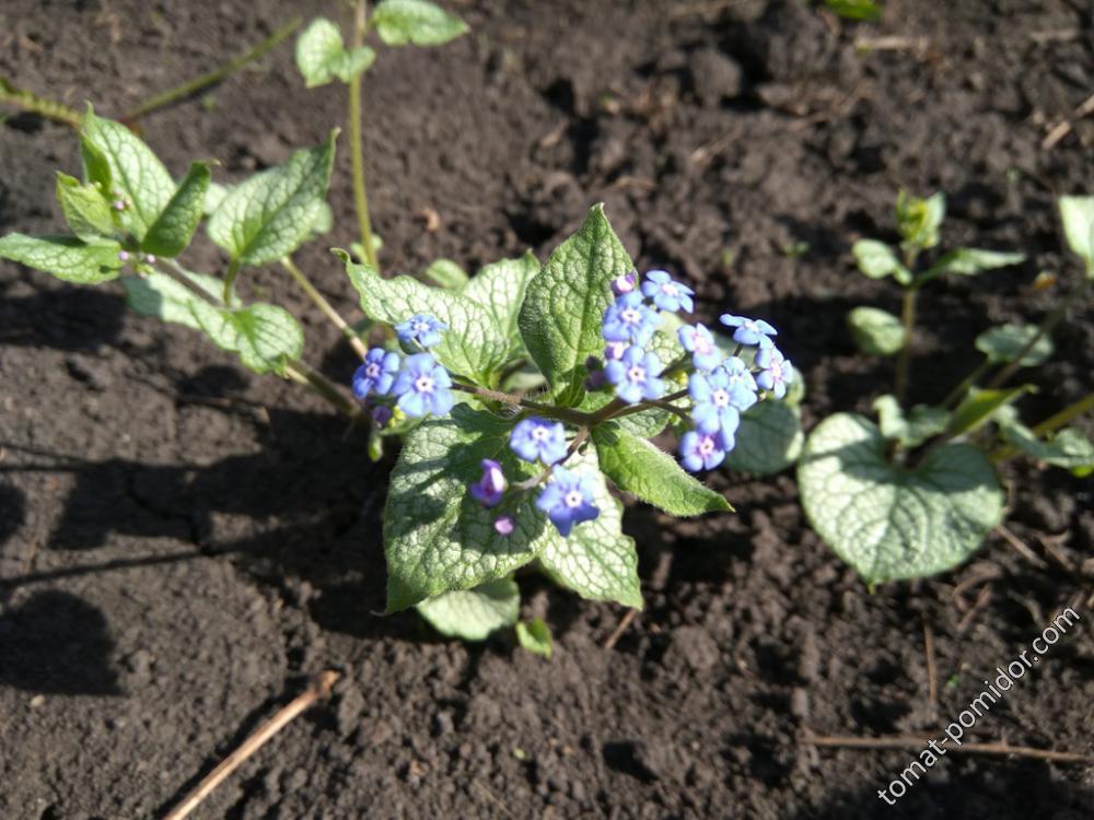 Цветет бруннера
