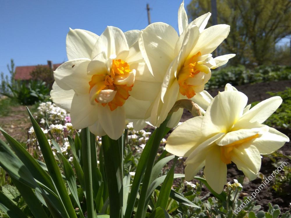 Нарцисс махровый белый с желтой серединкой