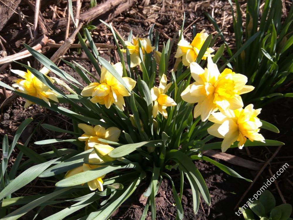 Нарциссы махровые желтые